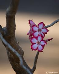 Wild Flowers (leendert3) Tags: leonmolenaar southafrica krugernationalpark wilderness naturereserve nature wildflowers naturalhabitat impalalily ngc npc coth5