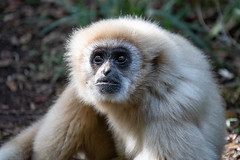Lar Gibbon, Western Cape (bloodpuddle) Tags: ngc sonya7iii sony