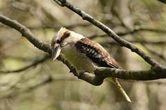 Laughing Kookaburra (rankenhohn59) Tags: birds kookaburra animal australian native nature wildlife woodland garden