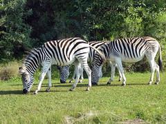 Trio of Zebras (Proteus_XYZ) Tags: southafrica kwazulunatal howick umgenivalley naturereserve zebra