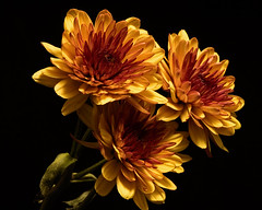 Fall Mums 1023 (Tjerger) Tags: nature autumn beautiful beauty black blackbackground bloom blooming blooms closeup fall flora floral flower flowers green macro mum plant portrait three trio wisconsin yellow mums natural brwoin orange brown group bunch
