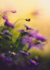 usain bolt (christian mu) Tags: flowers bokeh germany christianmu muenster münster nature 13518gm 135mm gm gmaster sony sonya7riii sonya7rm3