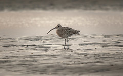 Curlew at sunset (Steven D'Cruze) Tags: curlew numenius beach sunset sea wader nikond700 sigma150600m fullframe fx h