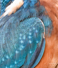 Can you tell what it is yet? (mikedenton19) Tags: kingfisher male alcedo atthis alcedoatthis bird nature wildlife water river scotland kirkcudbright commonkingfisher macro closeup feathers