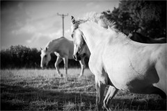 White Horses (Fitzpaine) Tags: horse horses whitehorse blackandwhite staplefitzpaine westcountry taunton somerset rural paddock field xt2 fujifilmxt2 davidjdalley england uk monochrome mono farm equestrian canter gallop