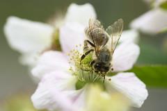 Biene auf Brombeerblüte (Ernst_P.) Tags: 105mm aut f28 inzing macro makro österreich sigma tirol tier insekt biene pflanze brombeere blüte