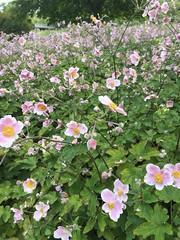 20190818_Donaupark_005 (Tauralbus) Tags: donaupark park pflanze plant blume blüte flower anemone herbstanemone anemonehupehensis