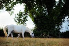 Graze (Fitzpaine) Tags: horse whitehorse staplefitzpaine westcountry somerset taunton england field rural paddock farm equestrian oak xt2 fujifilmxt2 davidjdalley grazing