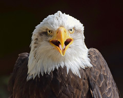 Plumage #3 (MJ Harbey) Tags: bird eagle baldeagle birdofprey plumage feathers haliaeetusleucocephalus aves accipitriformes accipitridae haliaeetus hawkconservancytrust andover hampshire nikon d3300 nikond3300