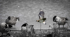 Lapwing (pootlepod) Tags: canon 7dmkii wildlife lapwing rspb flight bowlinggreen rspbsouthwest nature natural exe river water waders birds