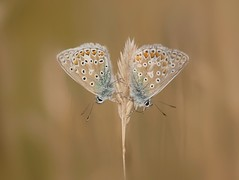 Common blue butterflies (PhotoLoonie) Tags: butterfly commonblue wings wildlife insect summer nature butterflies attenboroughnaturereserve