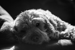 Sad little Poopy (jayneboo) Tags: mandlerelmaritr13528poopydogcockapoobwmonoportrait cockapoo dora poopy dog best friend mono bw