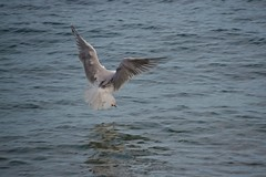 Ailes d'oiseau (Jeanne Menjoulet) Tags: ailes wings oiseau bird seagull goéland mer