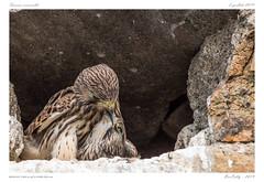Faucon crécerelle (BerColly) Tags: france auvergne puydedôme oiseaux birds faucon crécerelle kestrel portrait nourrissage feeding bercolly google flickr