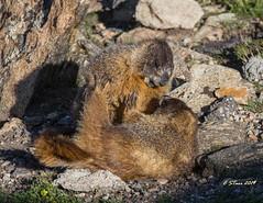 IMG_7927 yellow bellied marmot (starc283) Tags: starc283 wildlife nature natures finest watcher outdoor outdoors flickr flicker flora mountains colorado rocky rockymountains rockymountainnationalforest naturesfinest naturewatcher