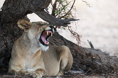 On a lazy Sunday afternoon..... (Jambo53 ()) Tags: lion kgalagadi crobertkok lioness immature young southafrica nikond800