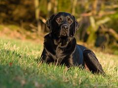 Emil-2019-08-18 (Der Pixelsucher) Tags: emil lab labi labrador black blacklabrador retriever g70 panasonic lumix dog hund besterfreund