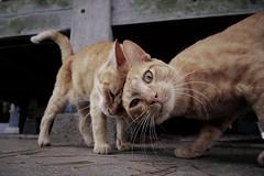 each other (Sat Sue) Tags: lumix micro four thirds 43 gx7mk2 gx80 gx85 japan fukuoka stray cat shrine