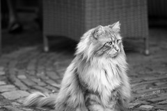 Norbert - my friends' Maine Coon cat - 2018 (Wilma v H- thanks for your support dear friends!) Tags: norbert mainecooncats cats portraits gingercats monochrome blackandwhite animals feline luminositymasks tkactionsv7panel 2018 canoneos60d canon100mm28f