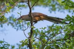 Cuban Lizard Cuckoo