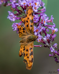DSC1381  Comma... (Jeff Lack Wildlife&Nature) Tags: comma butterflies butterfly lepidoptera insects insect wildlife wetlands woodlands woodland wildlifephotography jefflackphotography flowers wildflowers grasslands countryside copse heathland hedgerows heathlands heaths nectaring naturephotography nature nikon marshland meadows marshes moors macro