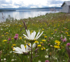 wilderness road (helena.e) Tags: helenae älsa husbil rv motorhome semester vacation vildmarksvägen wildernessroad water vatten himmel sky moln cloud reflection spegling storblåsjön storablåsjön flower blomma prästkrage rödklöver