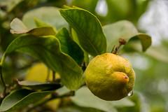 Lemon under the rain. (Azariel01) Tags: 2019 espagne spain españa citron citronnier lemontree lemon limon pluie rain goutte gouttes drops drop raindrop feuilles leaves fruit citrus