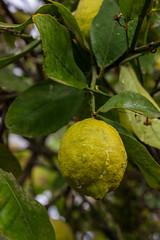 Lemon tree under the rain. (Azariel01) Tags: 2019 espagne spain españa citron citronnier lemontree lemon limon pluie rain goutte gouttes drops drop raindrop feuilles leaves citrus