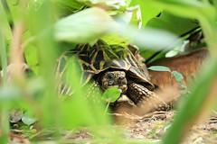 A Curious Sri Lankan Star Tortoise (ziyanjdeen) Tags: sri lanka star tortoise lka cannon 77d turtle