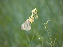 Shy (J.C. Moyer) Tags: rustiek rustic lumix45150mm lumixgx80 hfs45150 dmcgx80 lumix panasonic noordholland volebdam edam thenetherlands insect macro grass fauna flora nature natuur vlinder botervlieg flutterby butterfly