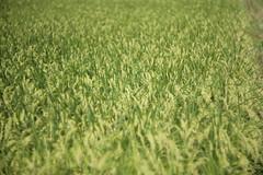 Paddy field (Typ250) Tags: leica 日本 千葉県 leicam summarex summarex85mm summarex85cm m10p summarexf85cm115 leicam10p