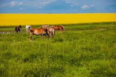 Group of Horses (Bracus Triticum) Tags: アルバータ州 alberta canada カナダ 7月 七月 文月 shichigatsu fumizuki bookmonth 2019 reiwa summer july group horses animal
