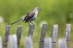Mockingbird's fence (RubénRamosBlanco) Tags: naturaleza nature animales wildlife aves birds northernmockingbird sinsontenorteño mimuspolyglottos mimpol adulto adult verano summer valla fence wood madera belleisle boston mass usa