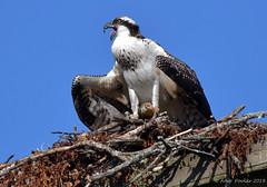 Osprey (Arvo Poolar) Tags: outdoors ontario canada arvopoolar nikond500 nature naturallight natural naturephotography bird birdofprey osprey perched nesting wings