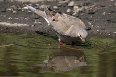Mirror mirror (RubénRamosBlanco) Tags: naturaleza nature animales wildlife aves birds zenaidamacroura zenaidahuilota mourningdove adulto adult verano summer agua water drinking bebiendo espejitoespejito mirrormirror belleisle boston mass usa