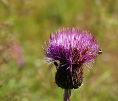 thistle (helena.e) Tags: helenae älsa husbil rv motorhome semester vacation vildmarksvägen wildernesroad holiday tistel thistle flower blomm lila purple fluga fly sagostig