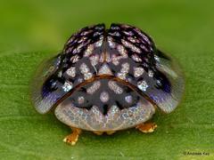 Tortoise beetle, Microctenochira sp.? Cassidinae (In Memoriam: Ecuador Megadiverso) Tags: chrysomelidae cassidinae andreaskay ecuador coleoptera leafbeetle focusstack tortoisebeetle microctenochira