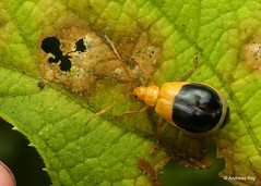 Leaf Beetle, Isotes sp.? (In Memoriam: Ecuador Megadiverso) Tags: andreaskay beetle chrysomelidae coleoptera ecuador galerucinae isotessp leafbeetle