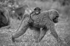 Hitching a ride - EXPLORED (August 19, 2019) (JD~PHOTOGRAPHY) Tags: baboon baboons motherandyoung motherandbaby primate wild wildanimal animal wildlife wildlifeportrait wildlifephotography africanwildlife africa kenya ngc canon canon6d
