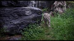 Fantôme des Montagnes (Alexandre LAVIGNE) Tags: fantômedesmontagnes format1851 léoparddesneiges pairidaiza pentaxhddfa50mmf14sdmaw pentaxk1 2019 félin nocturne ambiance animalier k1 nature nuit brugelette hainaut belgique