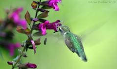 Aug Hummer (Arvo Poolar) Tags: outdoors ontario canada arvopoolar nikond500 nature naturallight natural naturephotography