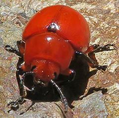 Reddish Potato Beetle, Leptinotarsa rubiginosa, Miller Canyon, Cochise County, AZ (Seth Ausubel) Tags: chrysomelidae az coleoptera chrysomelinae