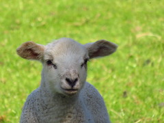 "Curious lamb • <a style=""font-size:0.8em;"" href=""http://www.flickr.com/photos/136447376@N03/48565888437/"" target=""_blank"">View on Flickr</a>"