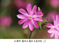 Silene dioica  アケボノセンノウ (ashitaka-f studio k2) Tags: flower pink haiku silene dioica アケボノセンノウ 5月
