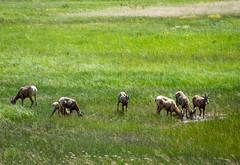 6 bighorn ewes and one lamb (Pejasar) Tags: bighornsheep sheepmeadow rockymountainnationalpark colorado 6ewes lamb grass meadow waterpool animals mammals