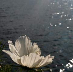 white flower (helena.e) Tags: helenae älsa husbil rv motorhome semester holiday vacation vildmarksvägen wildernessroad water vatten kolgården kolgårdenscamping vilhelmina flower blomma vit white volgsjön