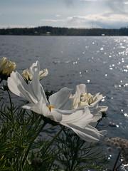 white flower (helena.e) Tags: helenae älsa husbil rv motorhome semester holiday vacation vildmarksvägen wildernessroad water vatten kolgården kolgårdenscamping vilhelmina flower blomma vit white