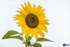 Soleil végétal (Philippe Bélaz) Tags: blanc brun fleur grosplan jaune tournesol vert été