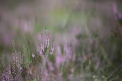 Heather (Magreen2) Tags: heather plant flower blossom bokeh nature summer blur heide pflanze bluete blume natur