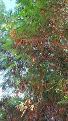 18J4,3Рожковое дерево